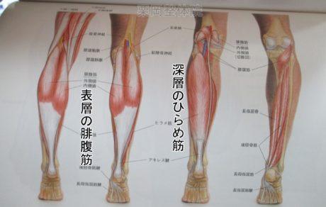 足の下腿三頭筋ひらめ筋腓腹筋