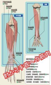 肘から手首の筋肉