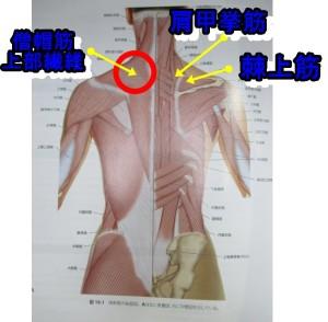 僧帽筋肩甲挙筋棘上筋は肩のゴリゴリするところの筋肉