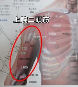 解剖学 上腕二頭筋