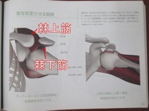 棘上筋棘下筋ゴリゴリ音が後ろからなるならこの筋肉を緩める