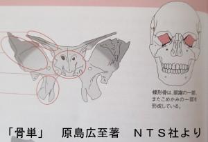 蝶形骨はこめかみと眼窩の一部を形成