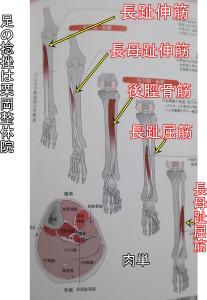 下腿の筋肉深部