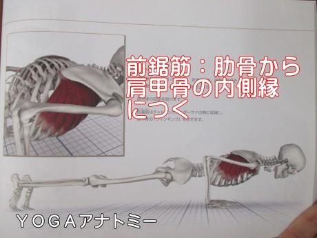前鋸筋肋骨から肩甲骨内縁につく