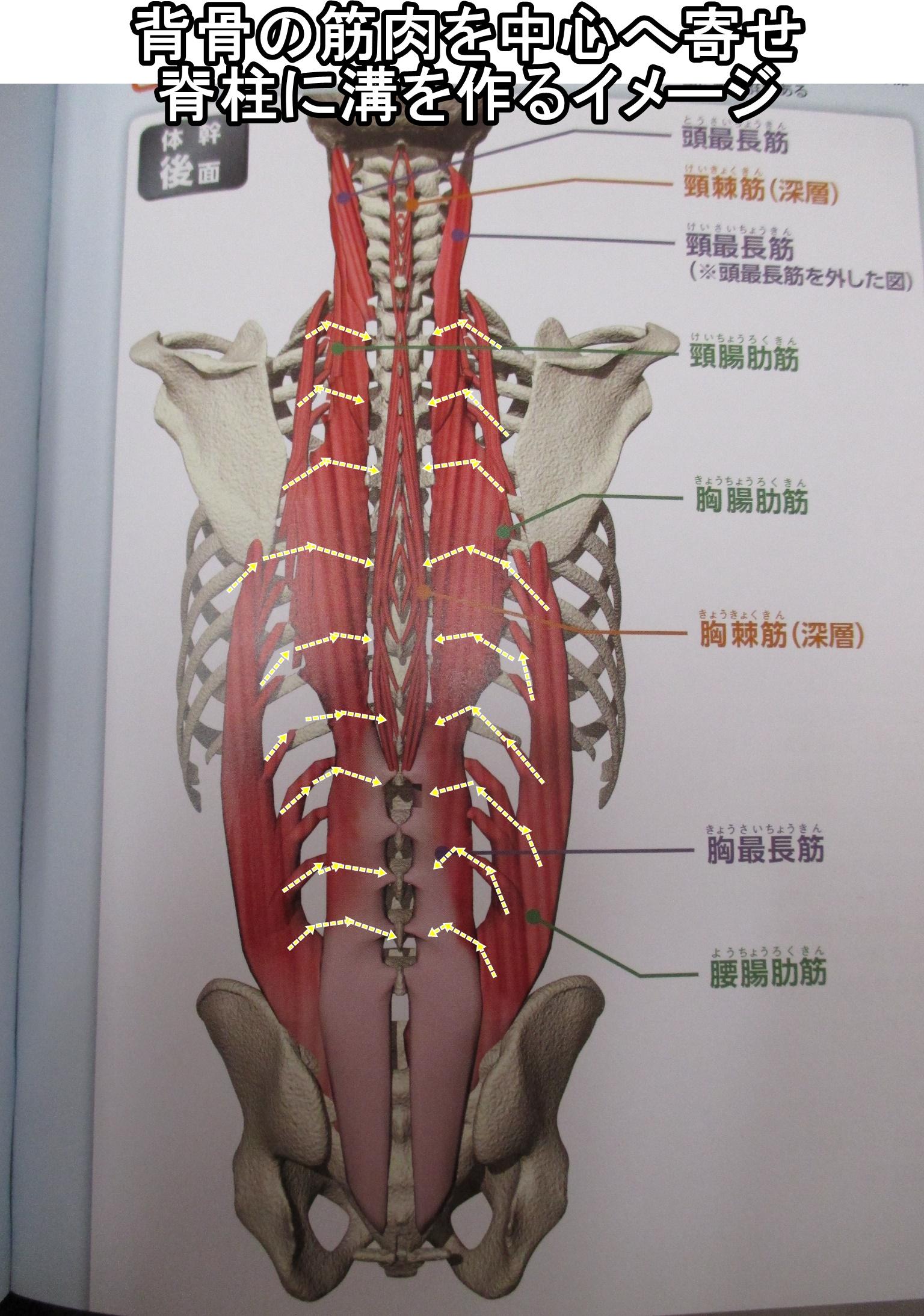背骨の筋肉を中心へ寄せ脊柱に溝を作るイメージ