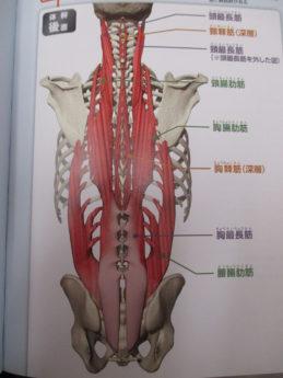 脊柱起立筋群