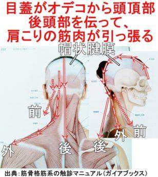 目蓋も帽状腱膜から引っ張られる