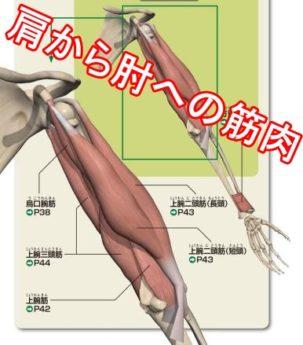 肩から肘への筋肉