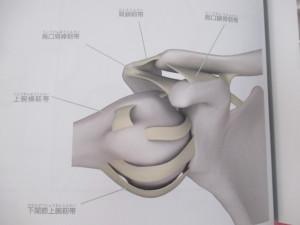 肩関節は最も可動域の広い関節