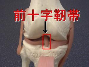 お皿をめくったところに前十字靭帯は損傷しやすいです