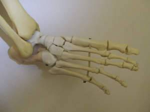 足26個の骨の集まり(種子骨入れて28個)