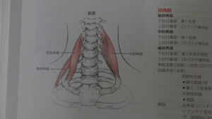 前斜角筋と中斜角筋は第一肋骨につく