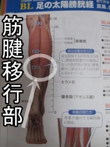 筋腱移行部は赤い筋肉と白い腱との境目で承山というツボあたり