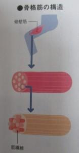 筋肉は筋繊維の集まり