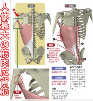 人体最大の筋肉広背筋