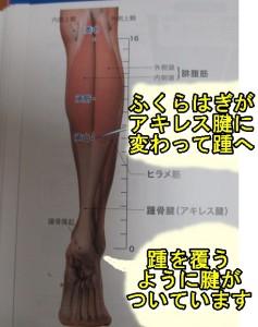ふくらはぎ・踵・アキレス腱解剖