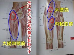 腹大動脈と股関節の主要筋肉