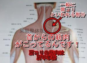 肩こりの原因肩甲挙筋
