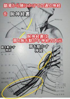 腕神経叢鎖骨から腋にかけての通る神経