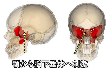 顎から脳下垂体へ刺激