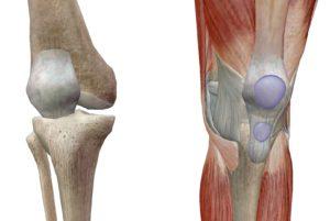 ひざ膝蓋骨膝関節の解剖ビジブルボディ