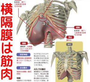 横隔膜は筋肉